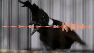 Download Mp3 Mp3 Burung Cililin. Buat Masteran Burung Kicau Dan Di Senangi Juri Nasional