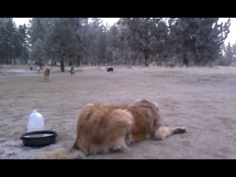 Leonberger sneak attack with a surprise ending - YouTube Leonberger Attack
