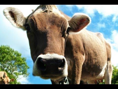 Mucche Documentario