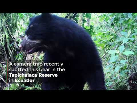 Spectacled Bear Caught on Camera