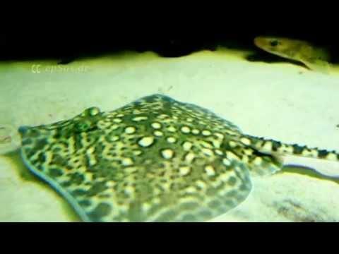 Cute Sting Ray Fish of Stuttgart Zoo