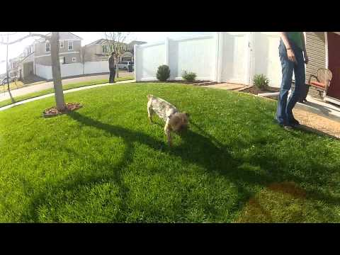 Dog Attack in Yard – Small Dog Funny