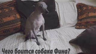 Чего боится голая мексиканская собака? Ежа!