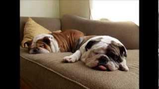 In memory of our LOVING sweet English Bulldog Jake