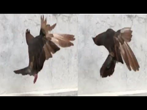 Roller Pigeon Part 5    Amazing Tumbler Pigeon Stunts    Paltimaar Girebaaz Kabootar    NEEL BIRDS