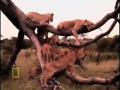 Honey Badger Narrates:The Majestic Lion