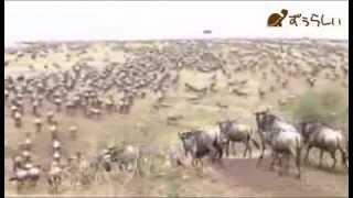 ヌーの大群が移動する途中、過酷な試練が待ちうける 代表的なのが河渡り...