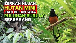 Download BERKAH HUJAN, HUTAN MINI JADI BELANTARA, PULUHAN BURUNG LANGSUNG BERSARANG