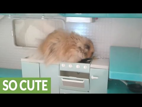 Hamster explores his own personal kitchen