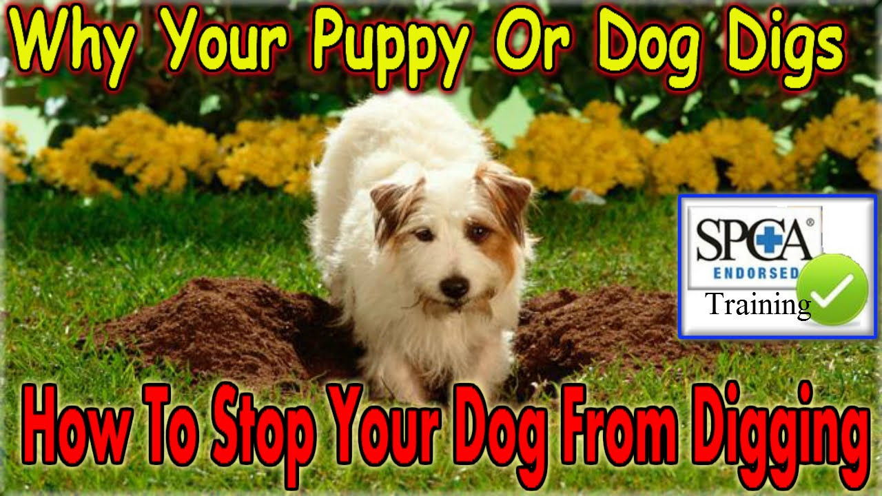 Watch How to Teach a Dog to Dig video