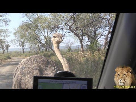 Ostrich Attacks Car