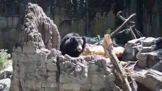 Sloth Bear at the Woodland Park Zoo in Seattle, WA