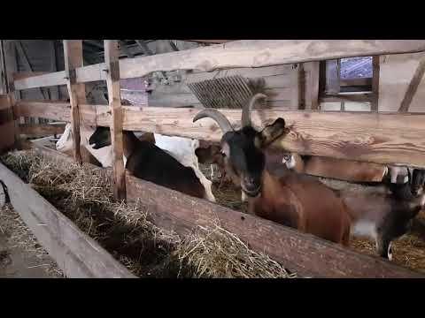 У соседий козы покрылись, а наши нет.УЖАС!!!