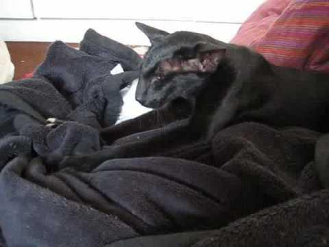 Oriental Shorthair - kneading his favorite blanket