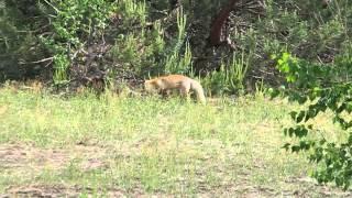 Чернобыльский лис: видео животного в зоне отчуждения. Май 2013 года(Лиса обыкновенная. Видео снято в центральной части зоны отчуждения. http://chornobyl.in.ua/lisa.html Май 2013 года., 2013-05-25T17:52:10.000Z)