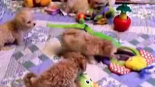 Maltipoo puppies for sale at Fancypoo4u.com