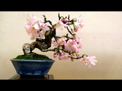 Cherry blossom bonsai trees youtube cherry blossom bonsai trees mightylinksfo