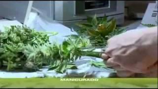 Cannabis Grow 19 Ernte/Trocknung/Lagerung