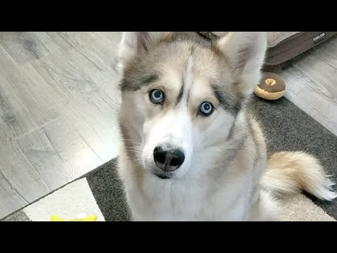 LIVE Q&A with The Huskies Of Gone To The Snow Dogs
