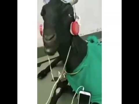 Gulmeli Videolar