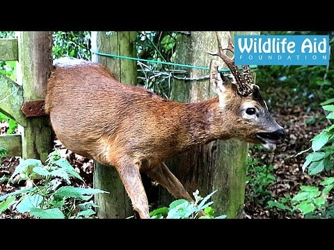 Wildlife Rescue - Deer Caught in a Gate