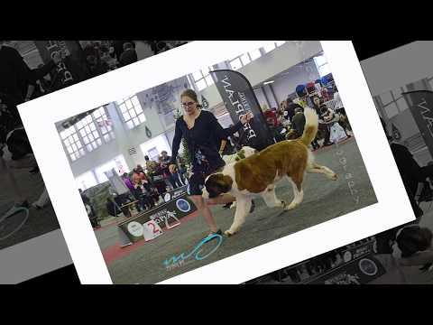Brussels Dog Show  2017  Saint-Bernards