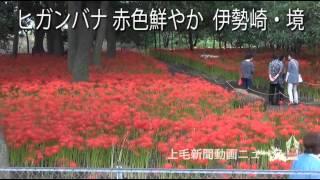 伊勢崎市境三ツ木の「早川渕彼岸花の里」のヒガンバナが見頃を迎え、辺...