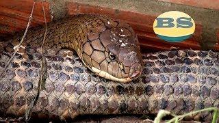 Bắt được cặp rắn hổ mang Chúa 60kg ở núi Cấm, An Giang