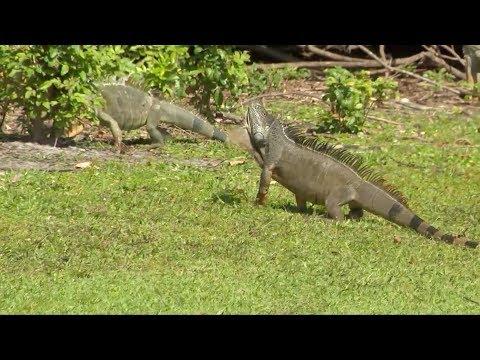 Iguanautbrudd i Florida