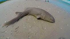 Nurse Shark- Indian Harbor Beach, Florida *4K*