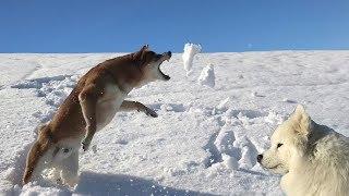 Играем в снежки с Самоедом и Шиба-ину. Собаки поругались