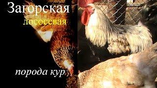 Загорская лососевая порода кур. Характеристика.