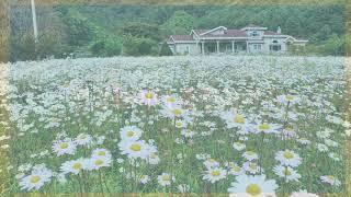 구절초피는마을 하립골  #구절초꽃차 #꽃차명인 #용금옥…