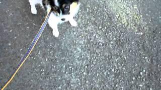 2011年4月11日生まれ ♂パピヨン犬(トライ) 生後3ヶ月 予防接種も無事...