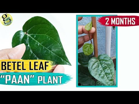 BETEL LEAF PLANT at home   How to Grow Betel plant: Paan Plant Care Tips and Propagation in English