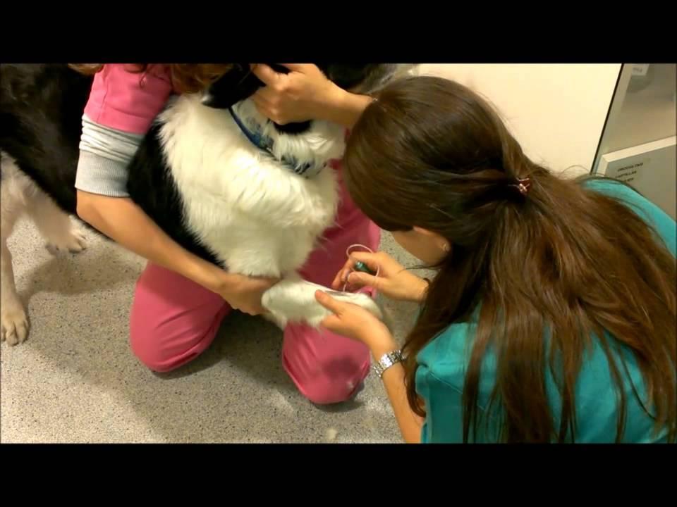 Extracción de sangre en perro - YouTube