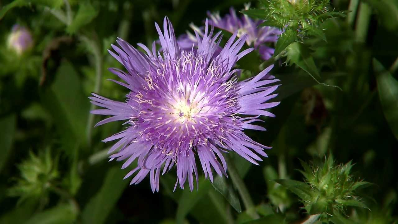 Stokes aster flowers return every year youtube stokes aster flowers return every year mightylinksfo
