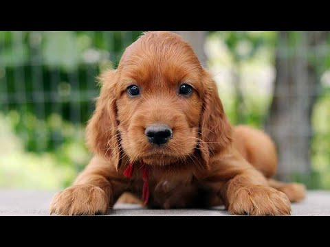 Amazing Facts on Irish Setter | In Hindi | Dog Facts | Animal Channel Hindi