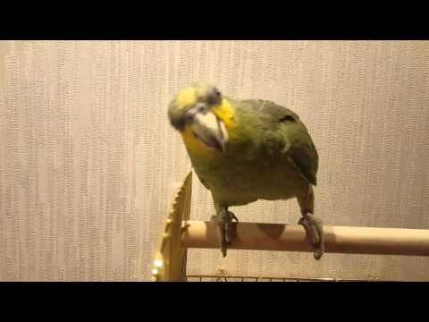 видео: Венесуэльский амазон Гарик
