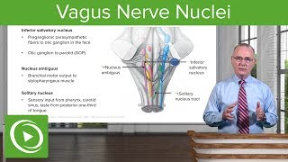 Glossopharyngeal and Vagus Nerve Nuclei – Anatomy | Lecturio