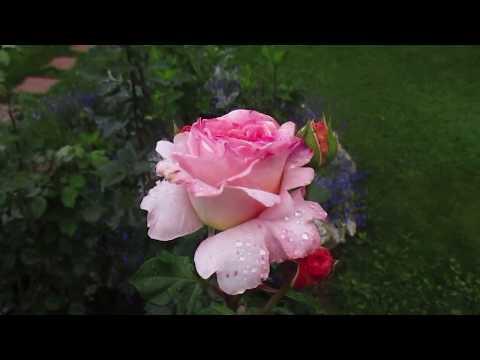 ✿➽ Роза Абрахам Дерби Цветение в год посадки 28.08.17