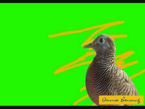 kumpulan suara manggung burung perkutut juara lomba nasional