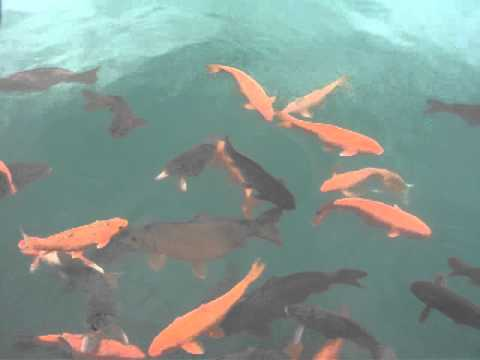 Golden Temple Goldfish Youtube