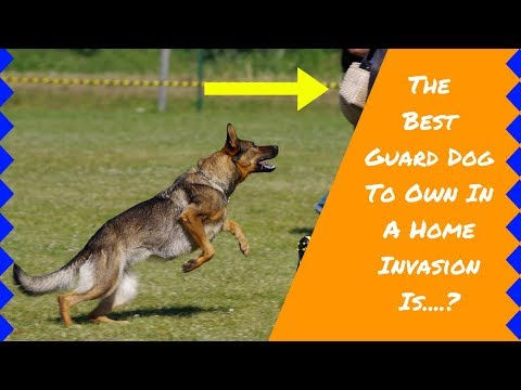 8 Best Guard Dogs | Guard Dog Breeds