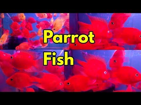 Parrot Fish Pari Aquarium Kurla Fish Market