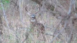 Big 12 Point Whitetail Buck in a Central Iowa Park