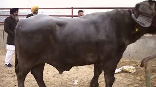 Jafarabadi bull from Gujarat