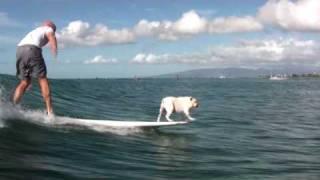 Surfing English Bulldog