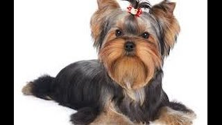 How to potty train a Yorkie yorkie potty training tips