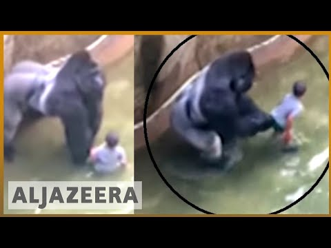 Outrage after Cincinnati Zoo kills gorilla to save a child